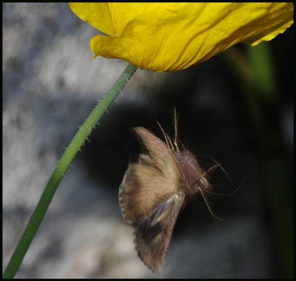 Silver Y Moth in Flight # by Badgerfred