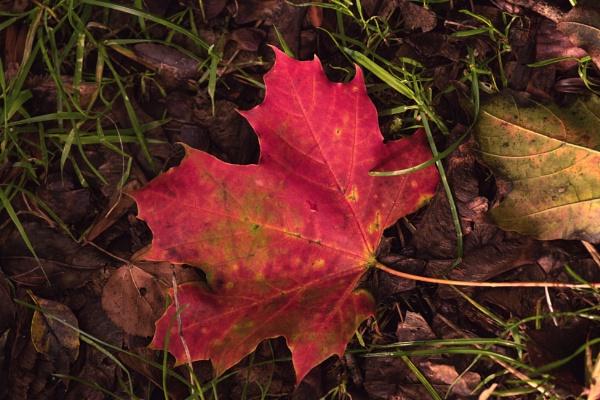Autumn Leaf by Alfie_P