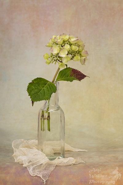 Hydrangea by Angi_Wallace