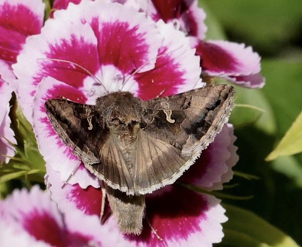 Silver Y Moth by HobbitDave