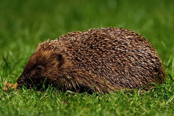 Hedgehog Dining by gav32