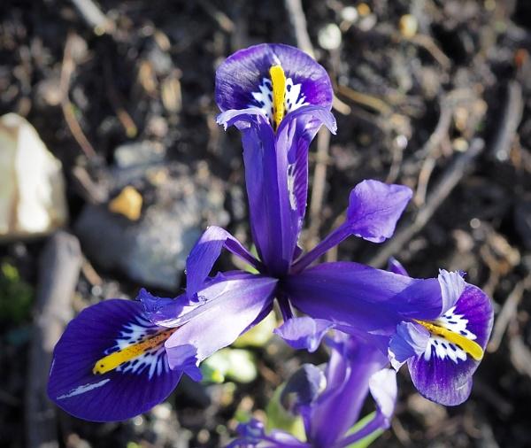 Iris by nclark