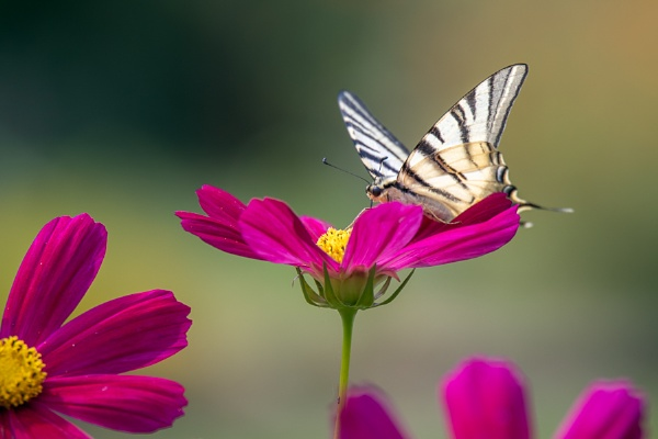 Swallowtail butterfly feeding on a Cosmos flower at Bergamo in I by Phil_Bird