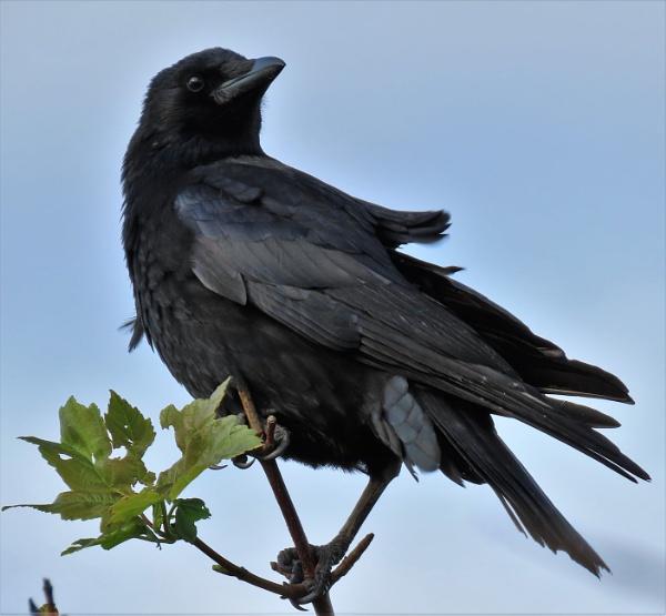 Windswept Crow by JanOByrne