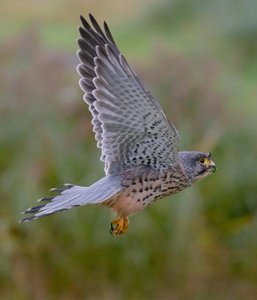 Kestrel in Flight by BydoR9