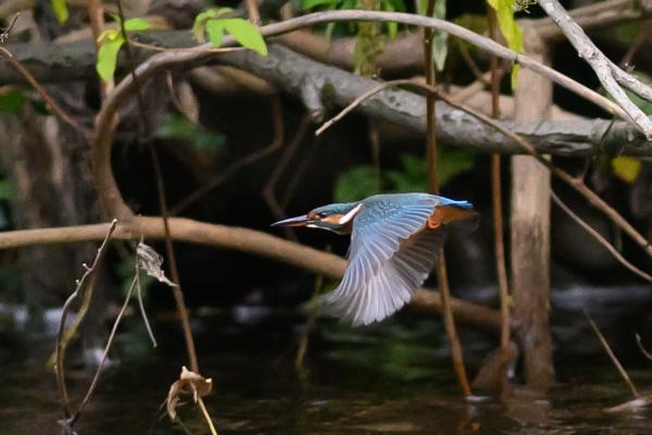 kingfisher in flight by brrttpaul