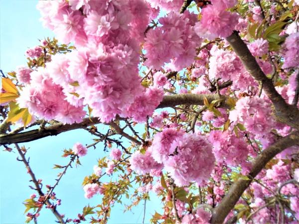 blossom by jenny007