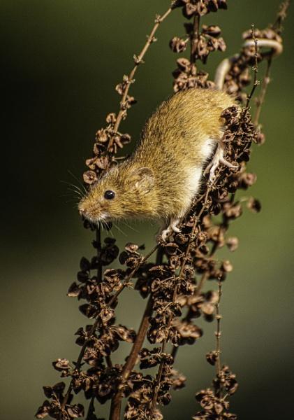 Harvest Mouse by ChristopherA