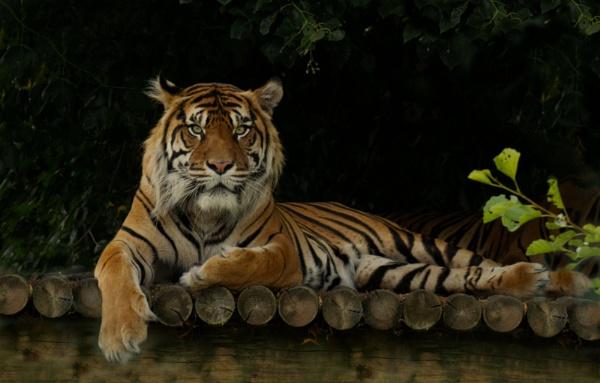 Resting Tiger by Fogey
