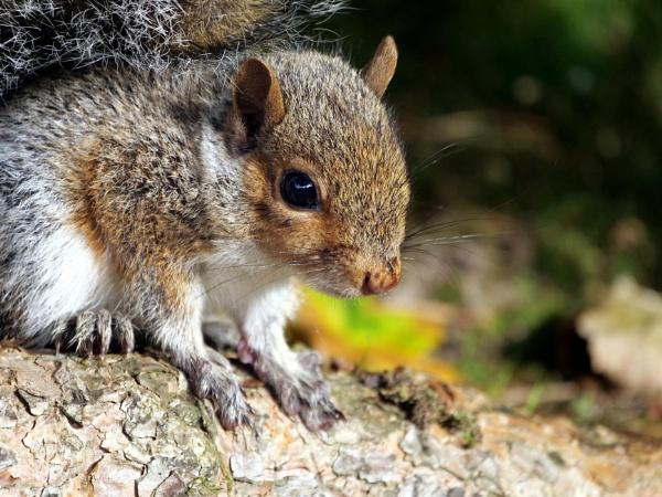 Young squirrel by DerekHollis