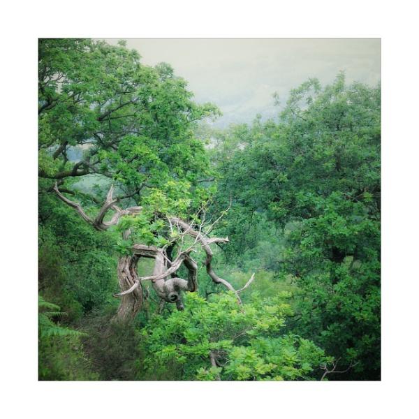 Oak by gerainte1