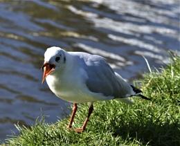 Noisy Black-headed gull