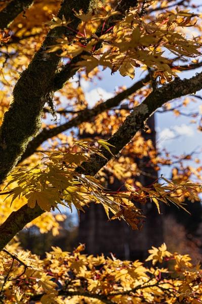 Acer at Lanhydrock Church by LLCJ