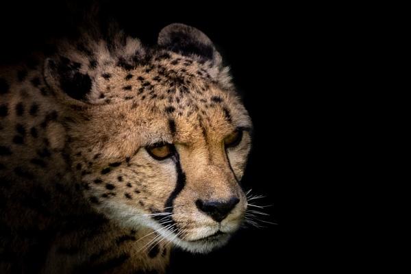 Cheetah 2 by TornadoTys