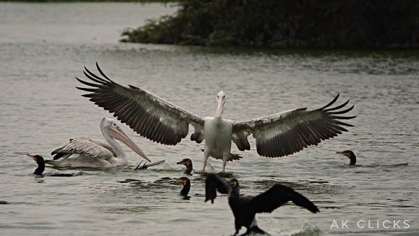 Palican landing by ashokynk