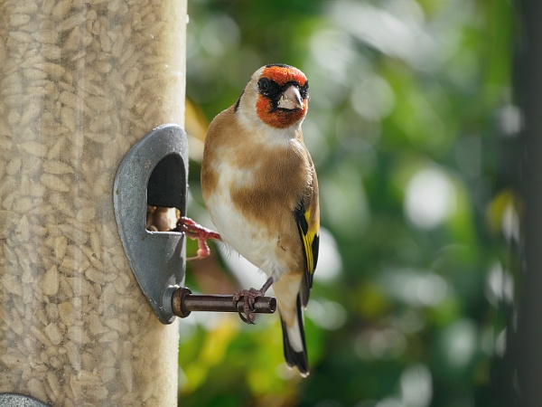 The beauty of a Goldfinch by royd63uk