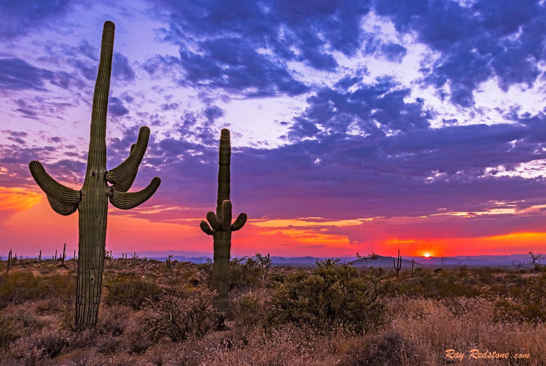 Saguaro  Cactus At Sunset Time In Arizona