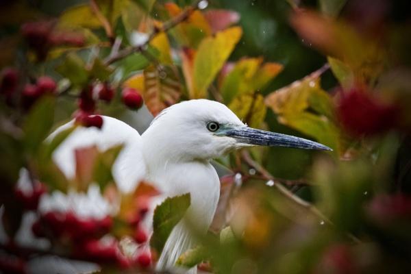 Autumnal Egret by martin174