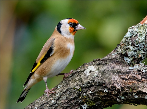 Eurasian Goldfinch by Mike_Young