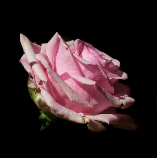 Rose by oldgreyheron