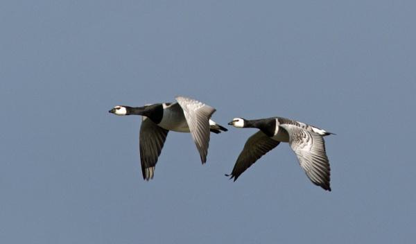 Barnacle geese by oldgreyheron
