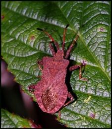 Brown Shield Bug :-