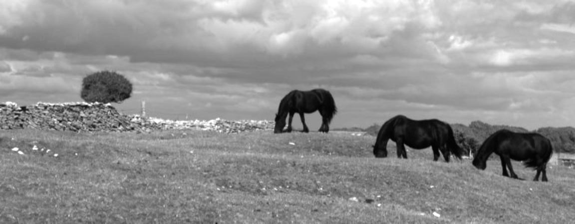 black horses