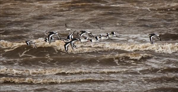 Oystercatcher flock by rambler
