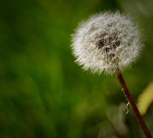 dandelion seed head by sparrowhawk