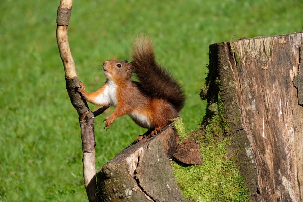Scottish Red Squirrel. by 64Peteschoice