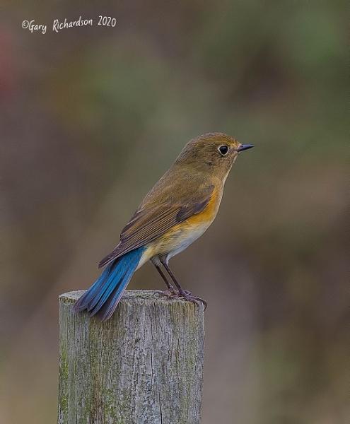 red-flanked bluetail by djgaryrichardson