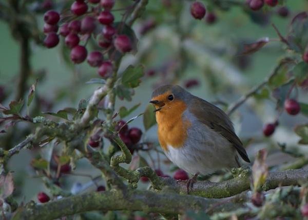Singing robin by Gordonsimpson