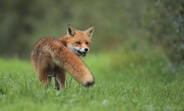 My Favourite Fox Shot by Len1950