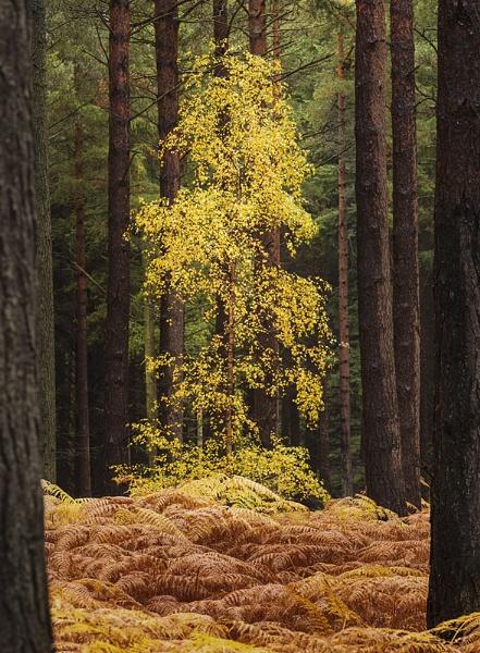 Autumn birch by Dallachy