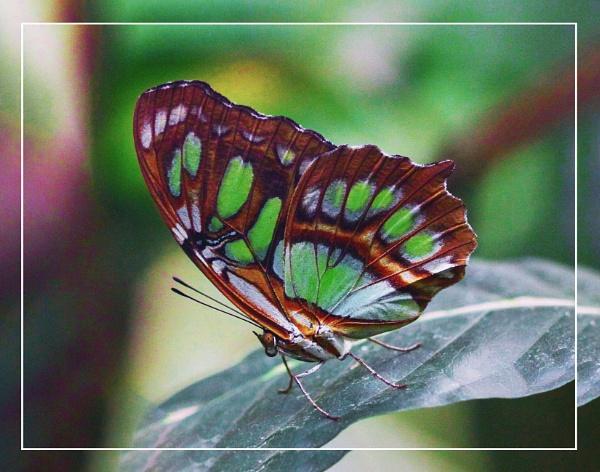 A Malachite Butterfly (Spiroeta stilenes) by gconant