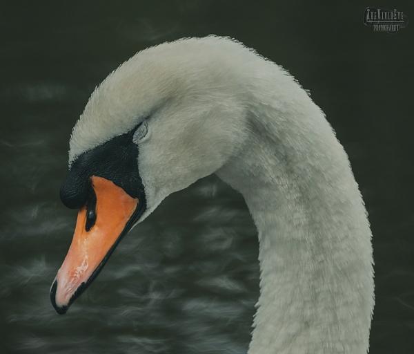 The Sleeping Swan by MartinWait