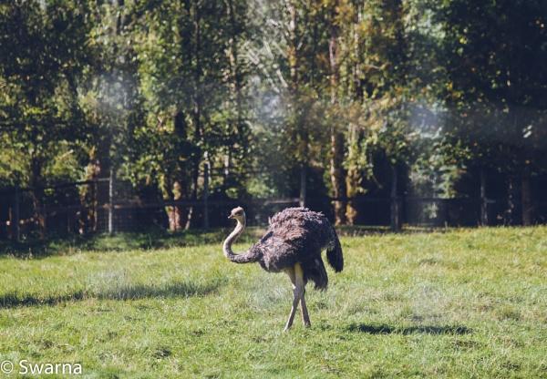 Ostrich... by Swarnadip