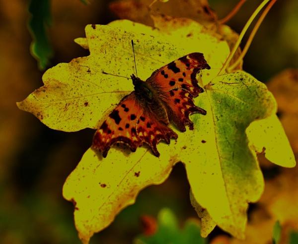 Autumn Comma. by georgiepoolie