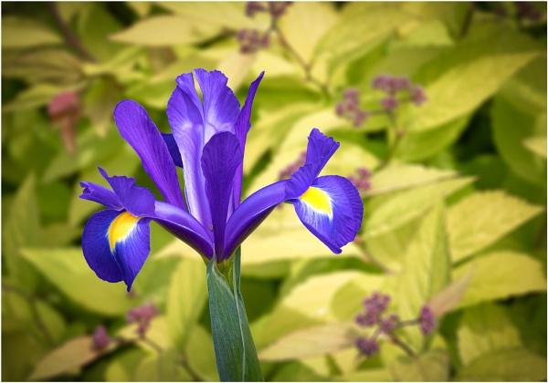 Iris by capto