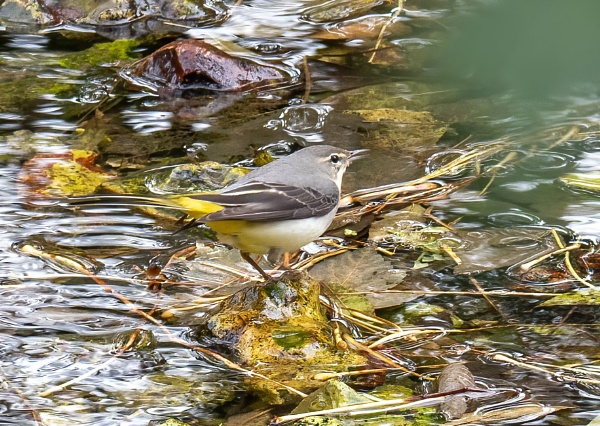 Wagtail by doverpic