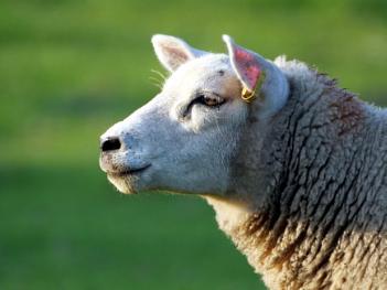 Looks sheepish