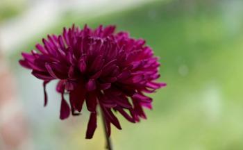 Chrysanthimum