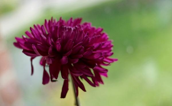 Chrysanthimum by Mollycat