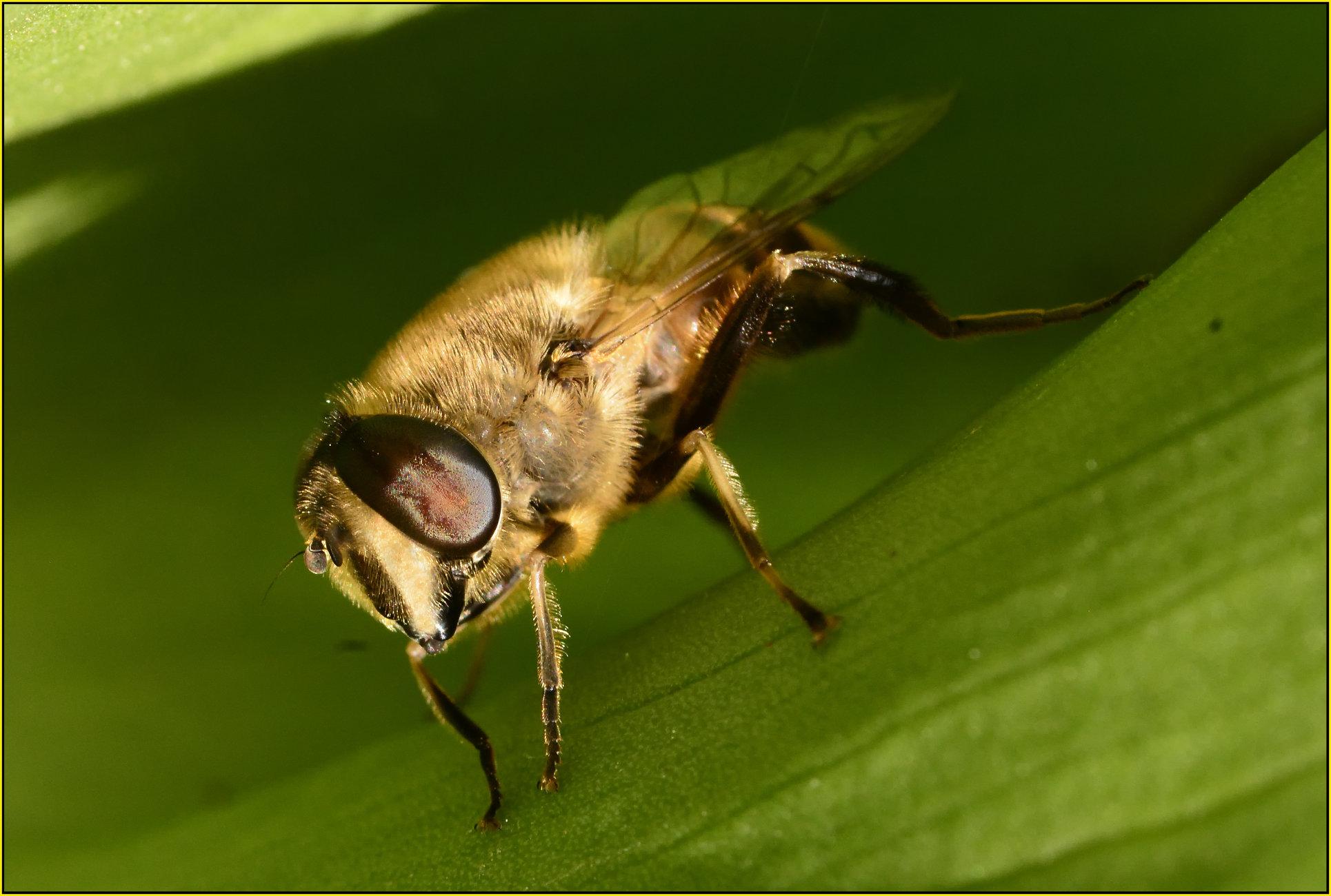 Bee resting on an Arum leaf