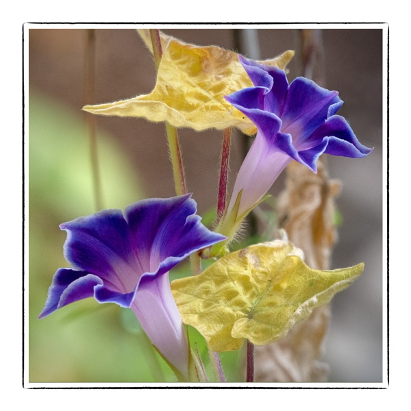 When We Had Morning Glories! by taggart
