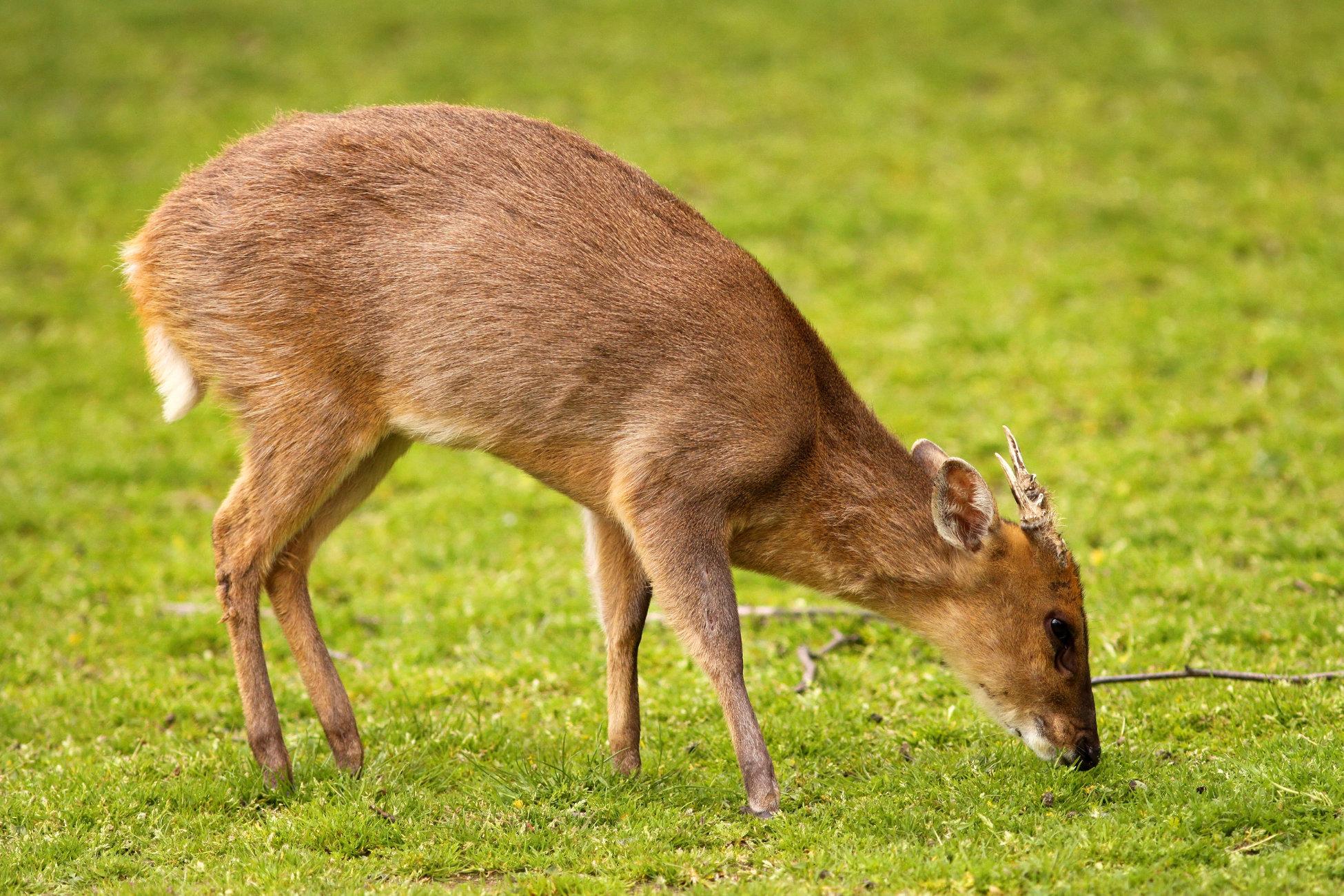 Chinese Muntjac Deer