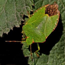 Green Shield Bug
