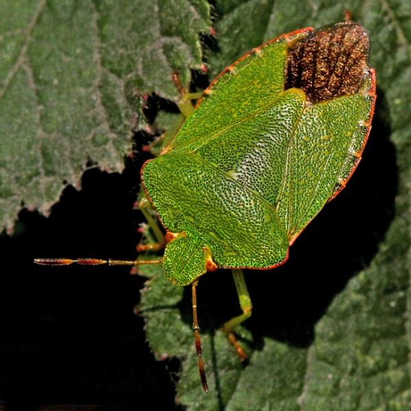 Green Shield Bug by bobpaige1