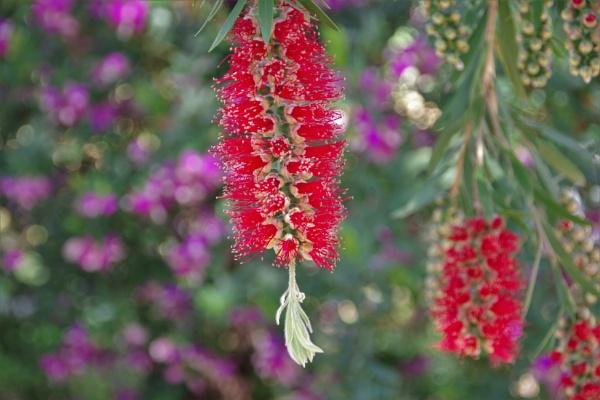 "\""Flowering Red Bottlebrush\"" by dales"