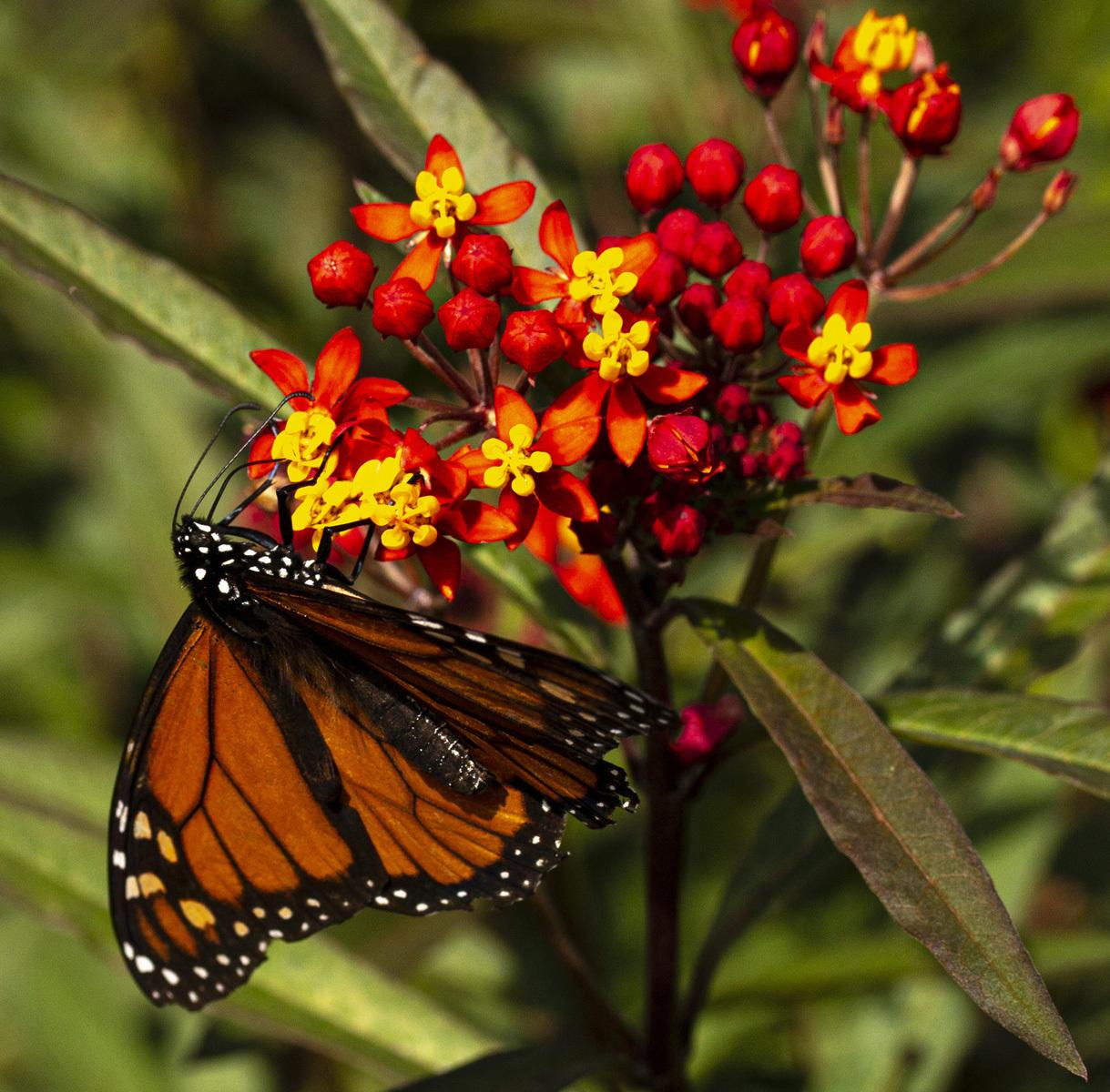 Monarch on Milkwood